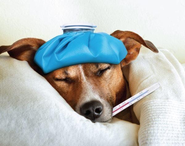 http://www.jupitervet.com/wp-content/uploads/2021/06/blog-dog-flu-civ-compressed-600x474.jpg